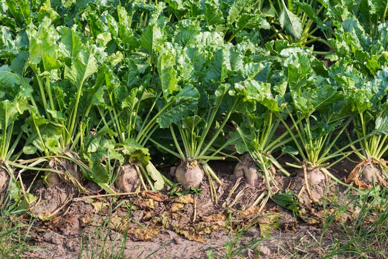 A close up horizontal image of mature sugar beets growing in a row in the garden pictured in light sunshine.
