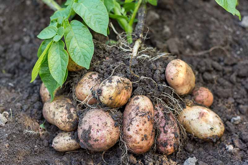 A close up horizontal image of freshly dug up potatoes in the garden.