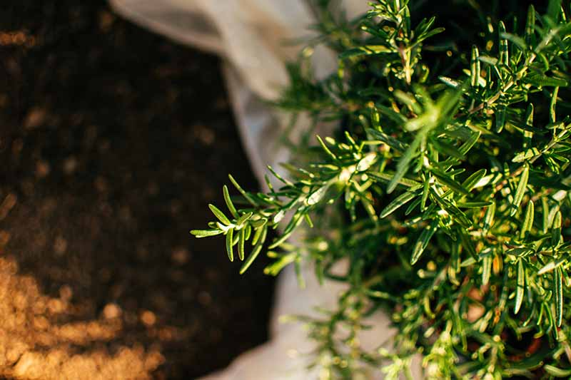 A close up horizontal image of a bag of soil set next to a rosemary plant growing in a pot pictured in light filtered sunshine.