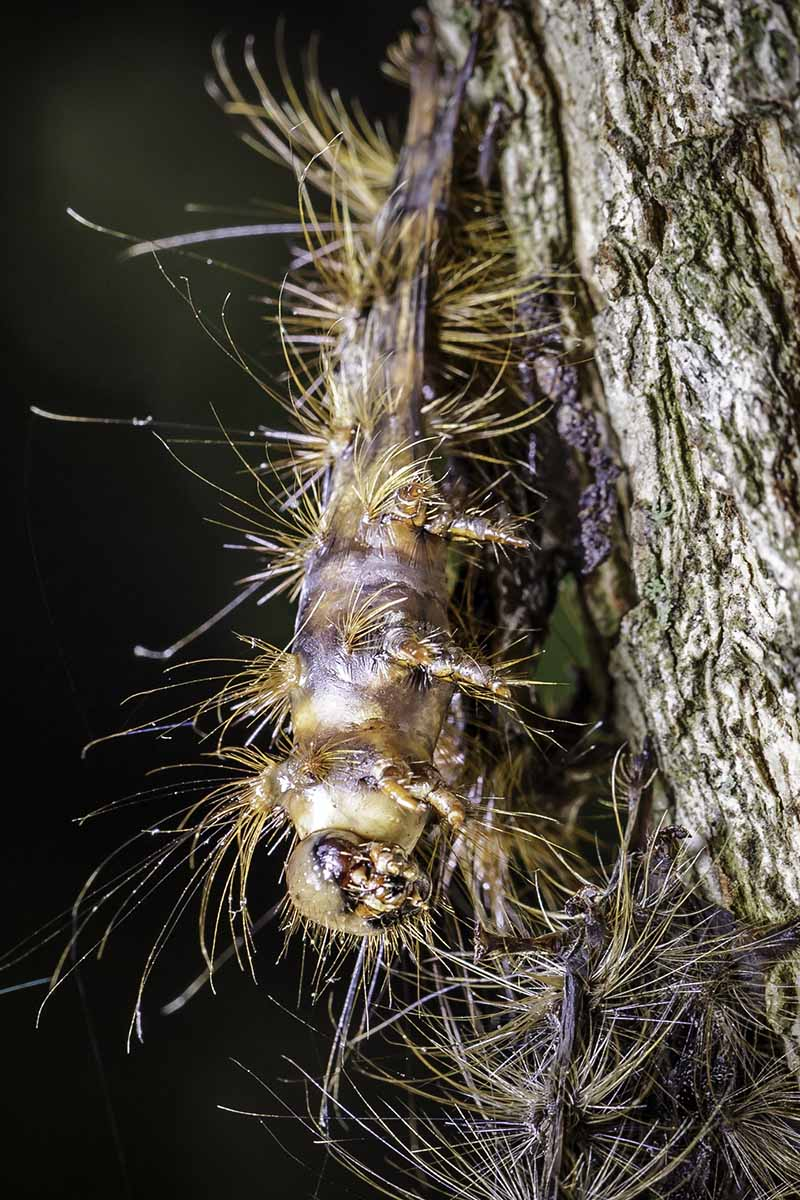 A close up vertical image of a hairy gypsy moth caterpillar on the bark of a tree, pictured on a dark background.