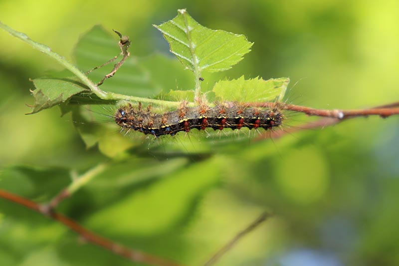 A close up horizontal image of a hairy gypsy moth caterpillar on the branch of a tree, pictured on a soft focus background.