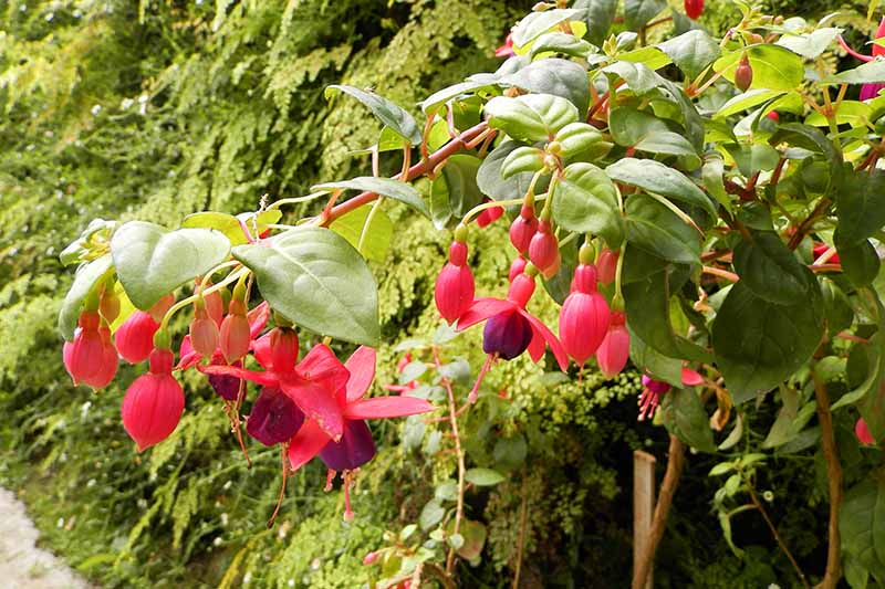 A close up horizontal image of a fuchsia plant growing in a garden border.