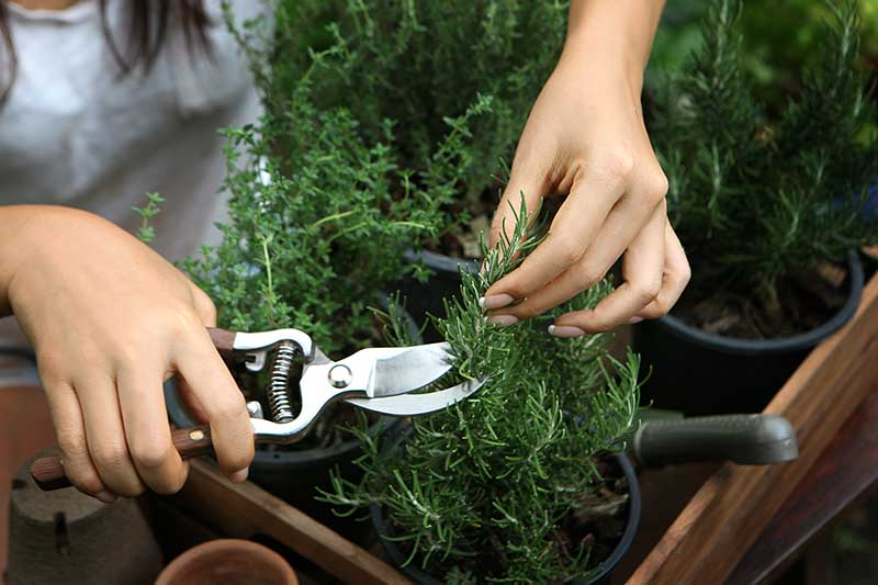 A close up horizontal image of two hands using a pair of pruners to harvest sprigs of rosemary from a small pot indoors.