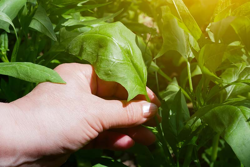 A close up horizontal image of a hand from the left of the frame picking baby spinach leaves pictured in light sunshine.