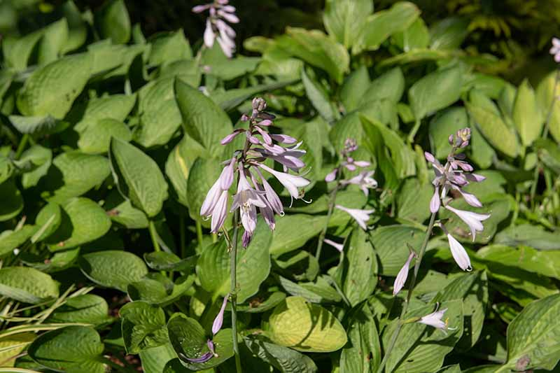 A close up horizontal image of 'Royal Standard' hosta growing in the garden pictured in light sunshine.