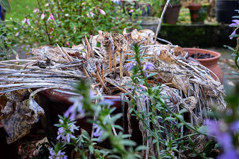 A close up horizontal image of a hosta plant growing in a pot that has died back for winter.