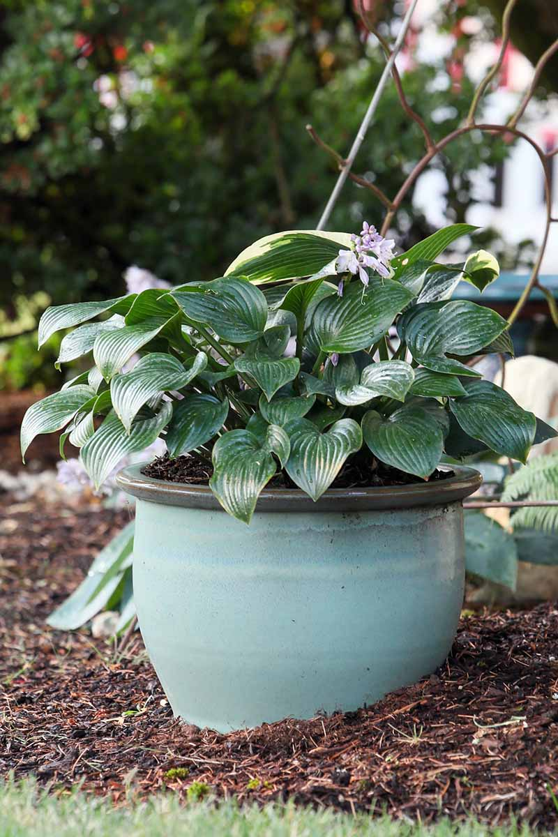 A close up vertical image of a hosta plant growing in a large pot set out in the garden.