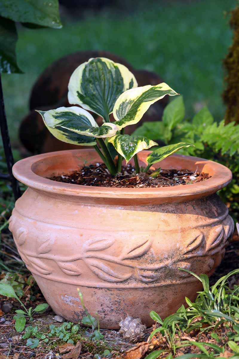 A close up vertical image of a small hosta plant growing in a large terra cotta pot pictured on a soft focus background.