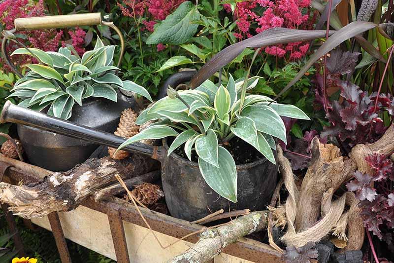 A close up horizontal image of a patio garden including hostas growing in pots.