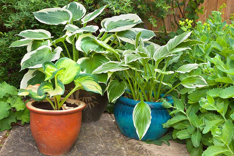 A close up horizontal image of hosta plants growing in pots on the patio.