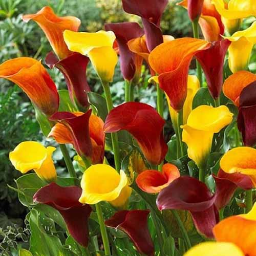 A close up square image of different colored calla lilies growing in the garden pictured in light sunshine.