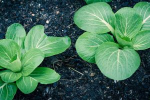 Bok Choy Spacing: How Far Apart to Plant Your Crop