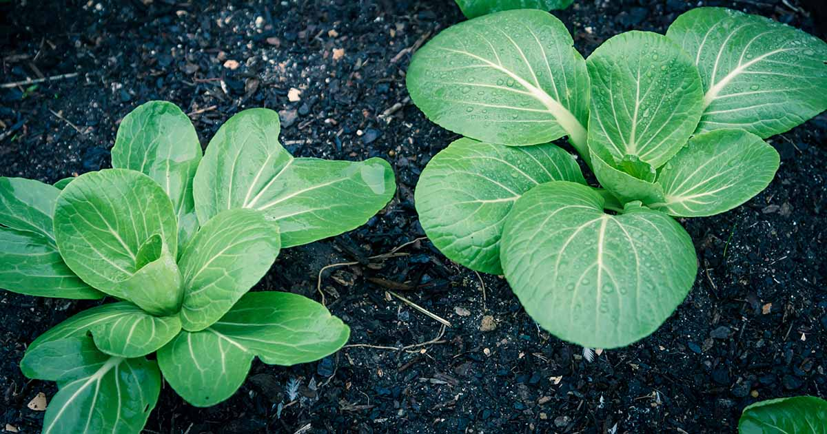 A close up horizontal image of bok choy plants growing in rich soil in the garden.