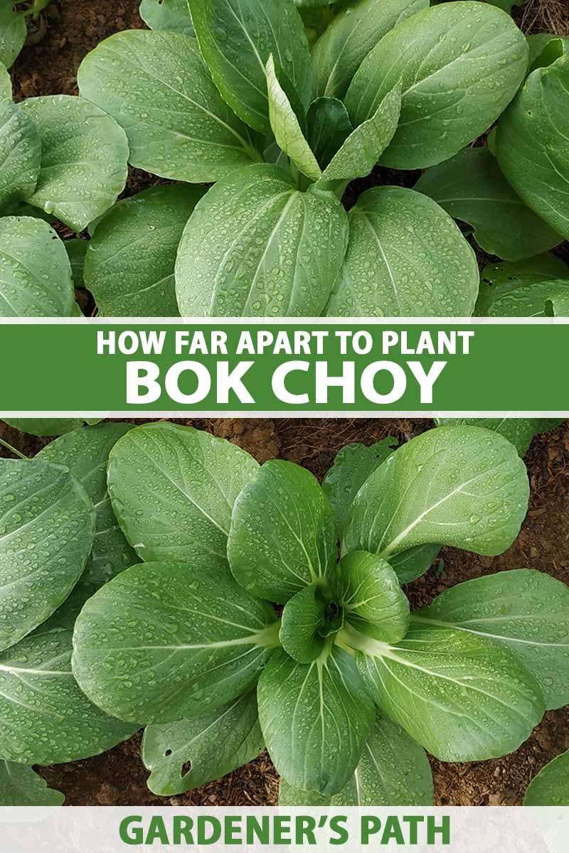 A close up vertical image of bok choy plants growing in the garden. To the center and bottom of the frame is green and white printed text.
