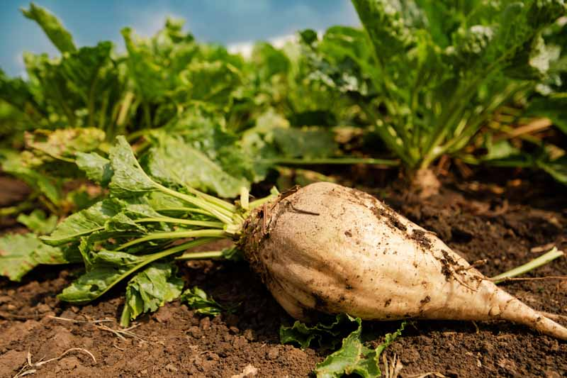 A close up horizontal image of a freshly harvested sugar beet root set on the ground in the garden.