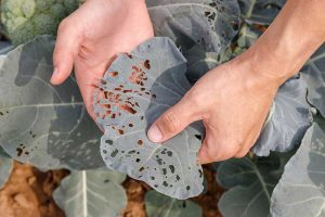 Common Broccoli Pests and How to Control Them