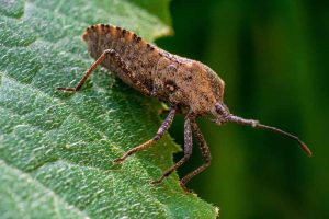 How to Identify and Control Squash Bugs