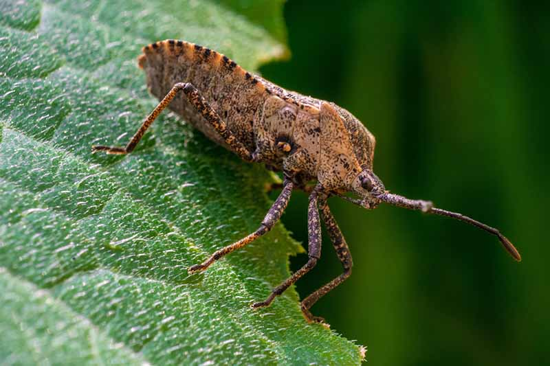 A close up horizontal image of a squash bug (Anasa tristis) on the edge of a leaf pictured on a soft focus background.