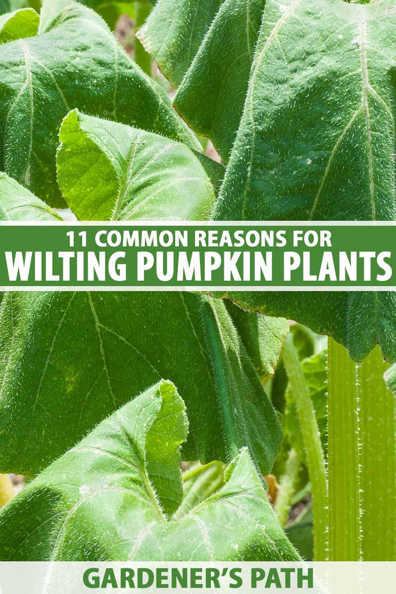 A close up vertical image of the foliage of pumpkin plants that are wilting in hot sunshine. To the center and bottom of the frame is green and white printed text.