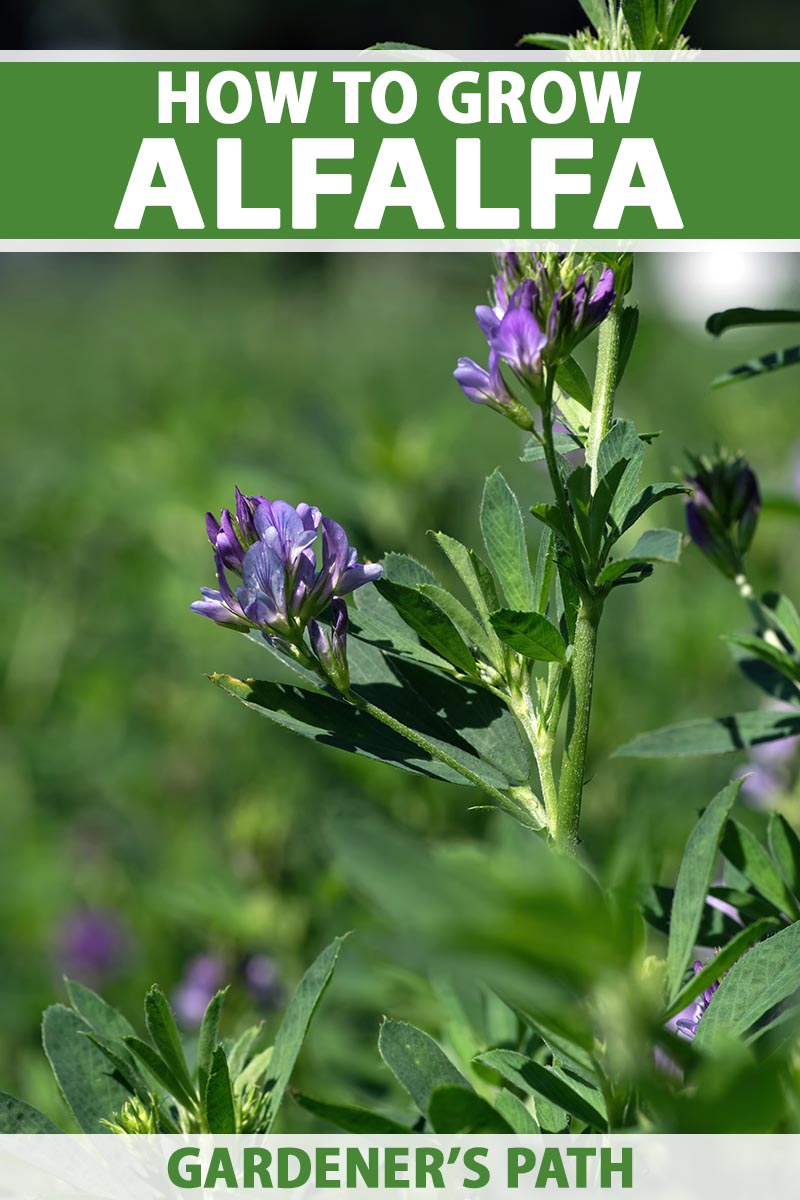A close up vertical image of alfalfa with purple flowers and deep green leaves growing in the summer garden pictured in light sunshine. To the top and bottom of the frame is green and white printed text.