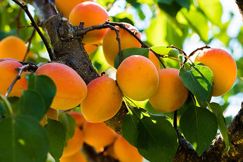 A close up horizontal image of an apricot tree with ripe fruits growing on the branches pictured in light light filtered sunshine on a soft focus background.