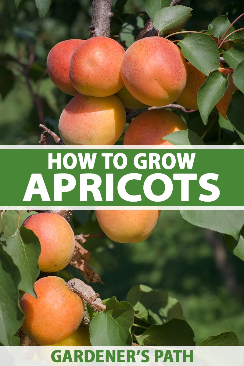 A close up vertical image of ripe apricots growing on the tree in a backyard orchard pictured in light sunshine. To the center and bottom of the frame is green and white printed text.