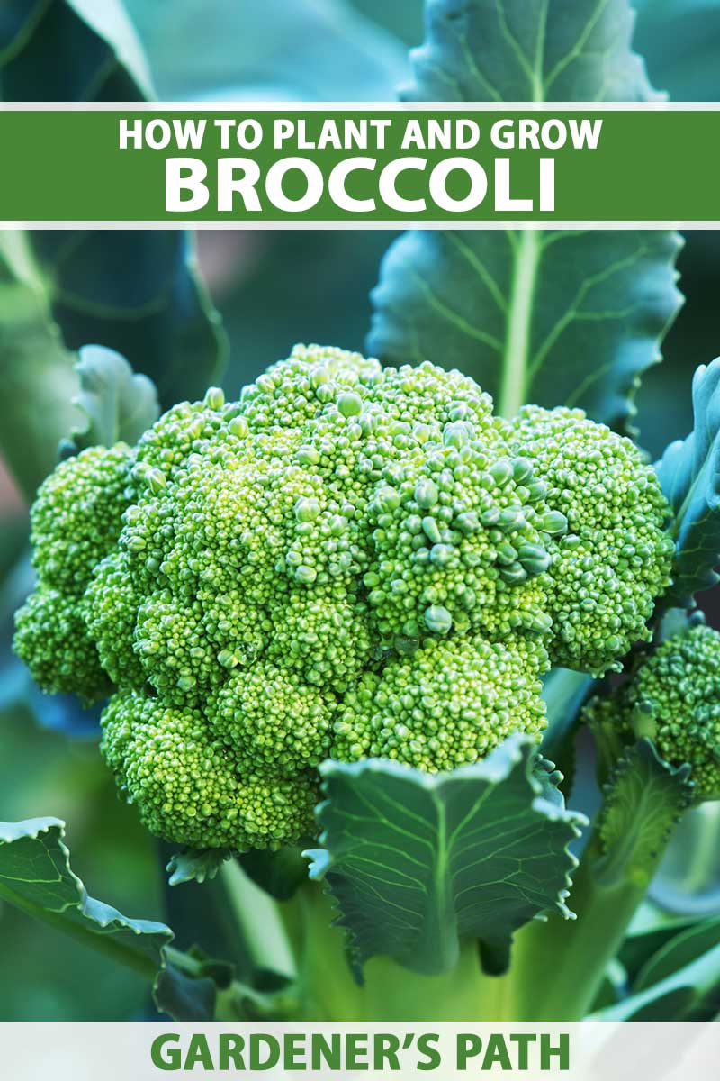 A close up vertical image of a head of broccoli growing in the garden pictured on a soft focus background. To the top and bottom of the frame is green and white printed text.