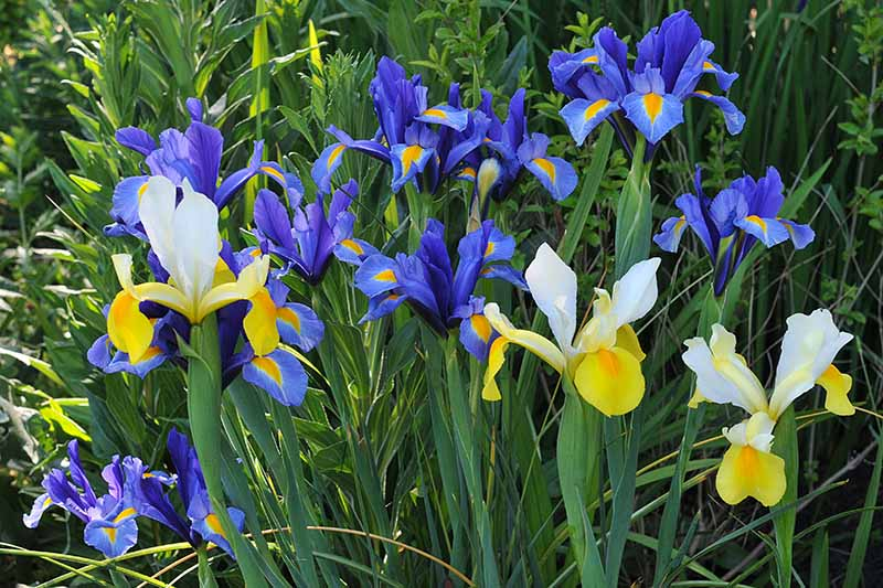 A close up horizontal image of blue and yellow bicolored bulbous iris flowers growing in the garden.