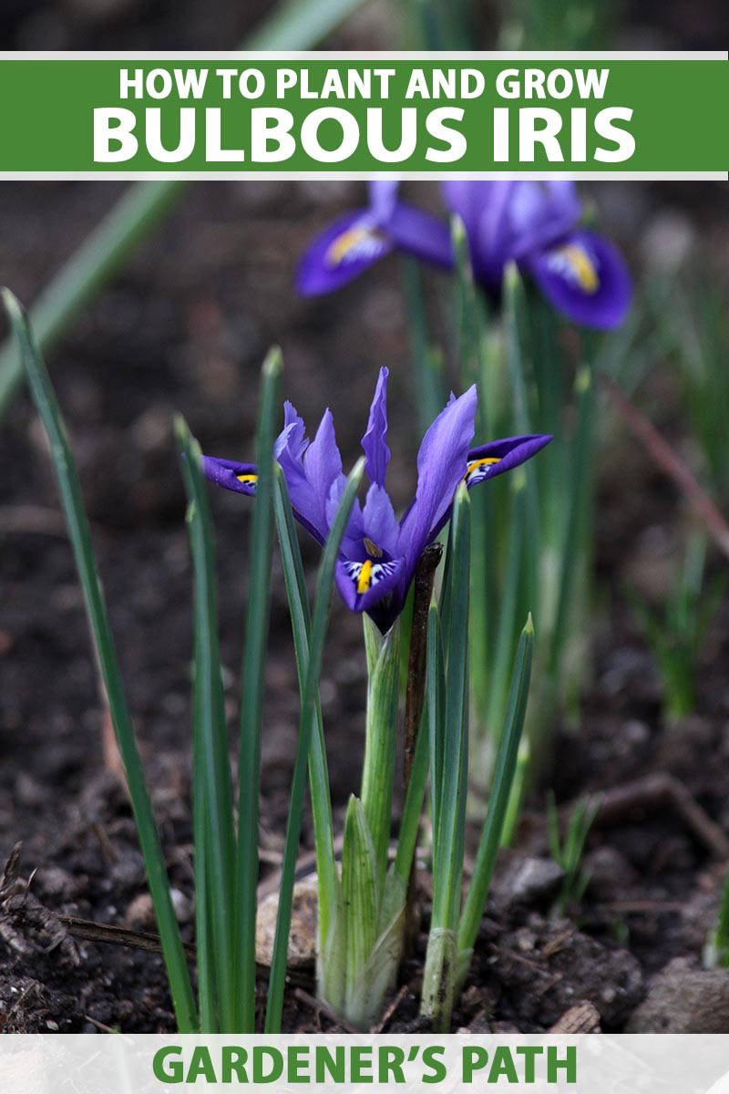 A close up vertical image of purple bulbous iris growing in the garden fading to soft focus in the background. To the top and bottom of the frame is green and white printed text.