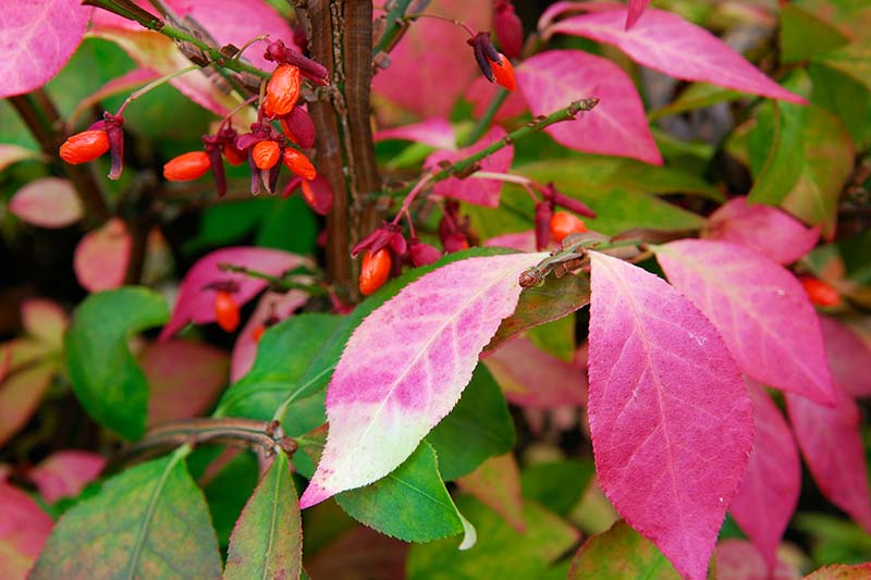 A close up horizontal image of burning bush berries and foliage turning from green to red in autumn.