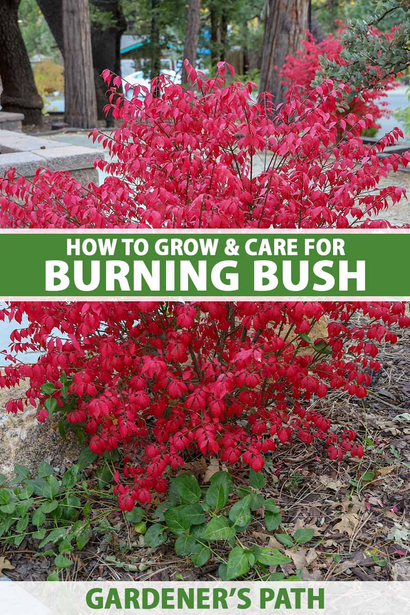 A close up vertical image of a small burning bush shrub growing in a garden border with trees in soft focus in the background. To the center and bottom of the frame is green and white printed text.
