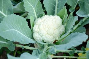 How to Grow Cauliflower, a Challenging Cool-Weather Crop