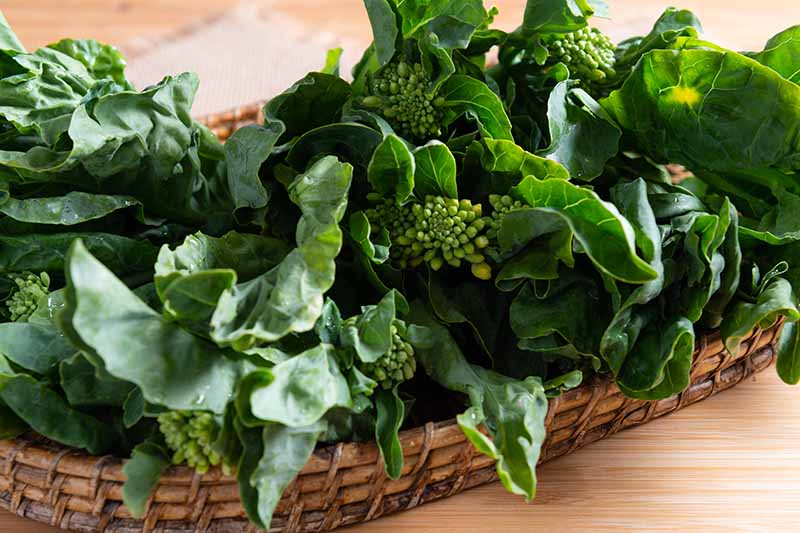 A close up horizontal image of freshly harvested Chinese broccoli in a wicker basket set on a wooden surface.