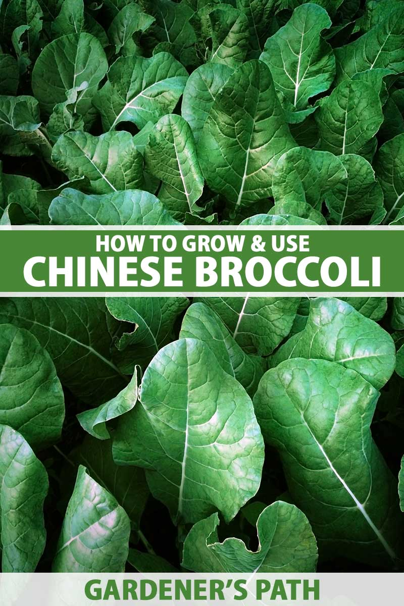A close up vertical image of the dark green leaves of Chinese broccoli. To the center and bottom of the frame is green and white printed text.