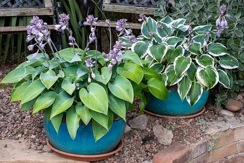 A close up horizontal image of two hosta plants with purple flowers growing in blue ceramic posts on a patio.