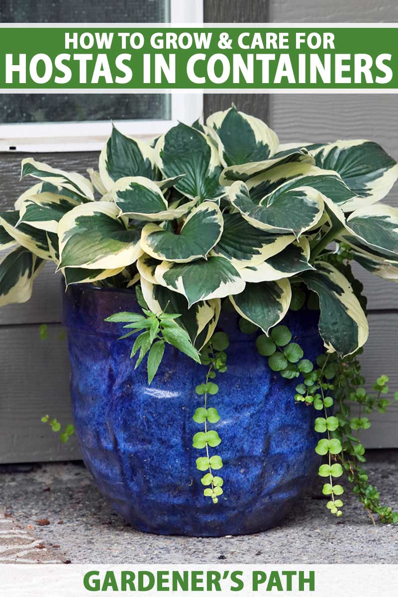 A close up vertical image of a large variegated hosta plant growing in a deep blue ceramic pot set on the porch. To the top and bottom of the frame is green and white printed text.