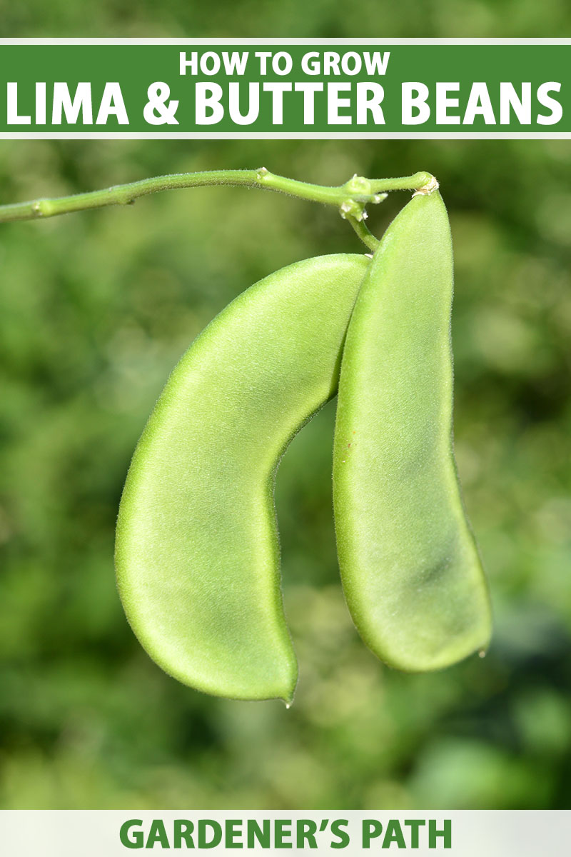 A close up vertical image of lima bean pods growing in the garden pictured on a soft focus background. To the top and bottom of the frame is green and white printed text.