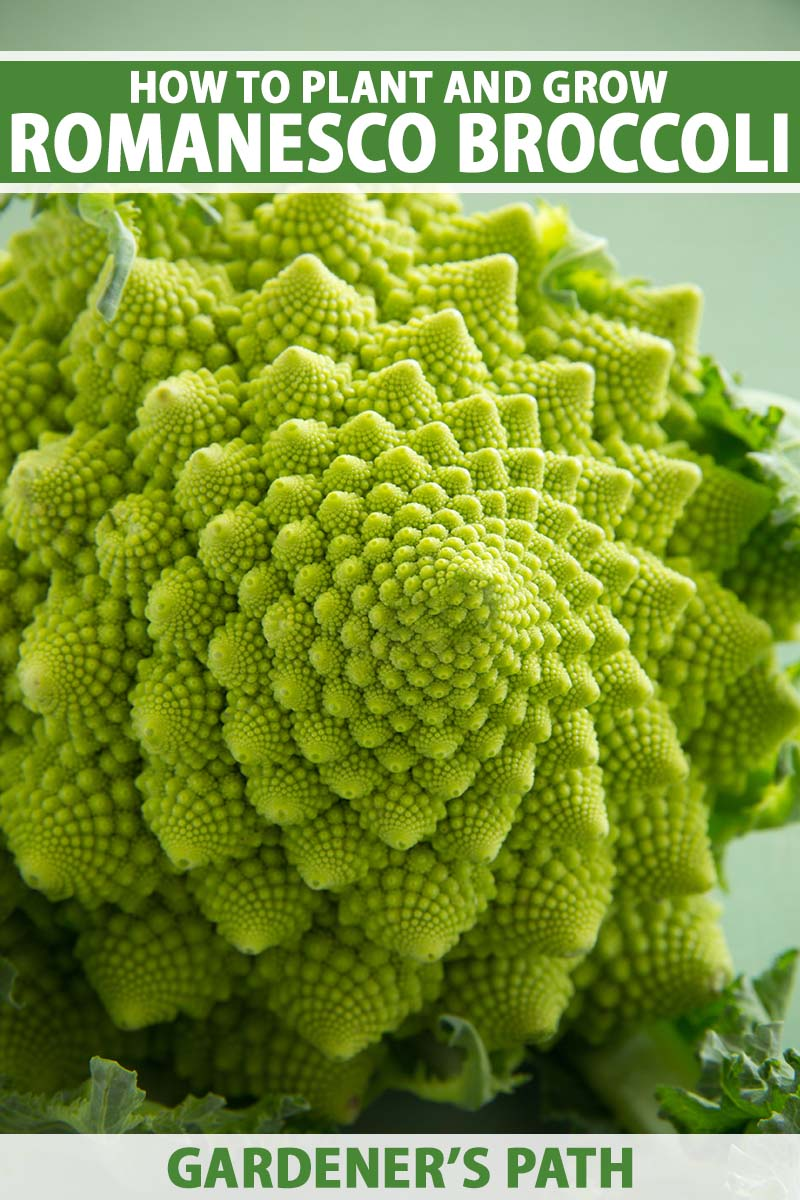A close up vertical image of a head of Romanesco broccoli pictured on a soft focus background. To the top and bottom of the frame is green and white printed text.