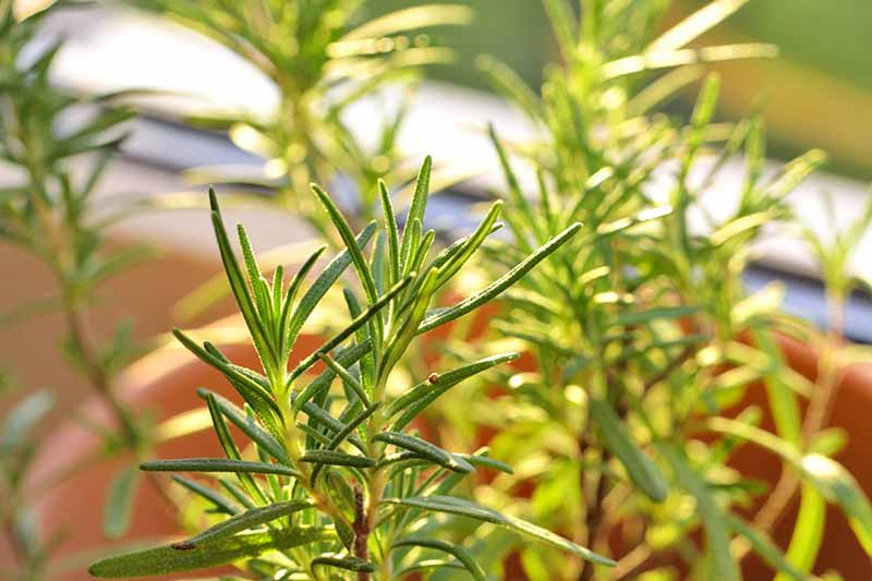 A close up horizontal image of rosemary growing in a container on a windowsill pictured in light sunshine.