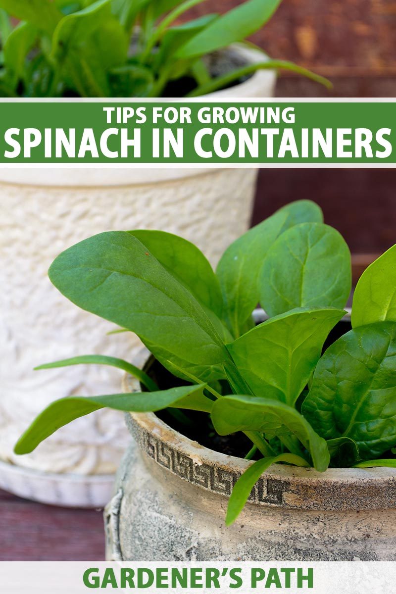 A close up vertical image of spinach growing in pots on a patio. To the top and bottom of the frame is green and white printed text.