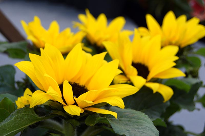 A close up horizontal image of bright yellow sunflowers growing in pots pictured on a soft focus background.