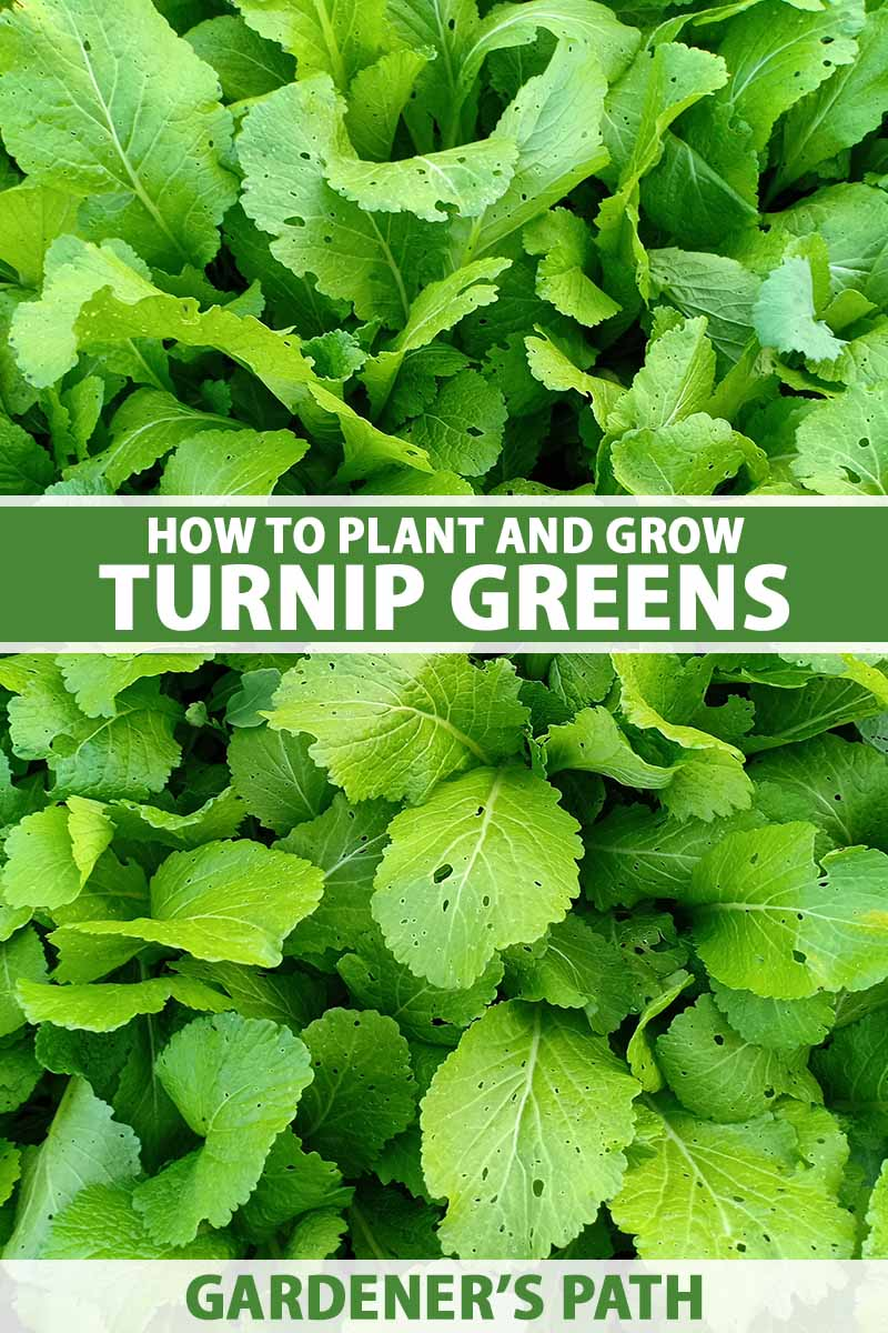 A close up vertical image of turnip greens growing in the garden. To the center and bottom of the frame is green and white printed text.