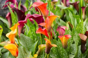 How to Grow Calla Lilies for Easy Sophistication