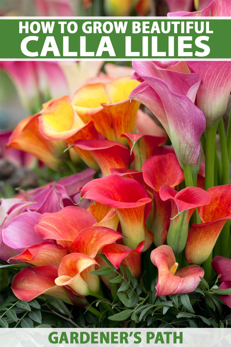 A close up vertical image of colorful calla lily flowers in a beautiful bouquet. To the top and bottom of the frame is green and white printed text.