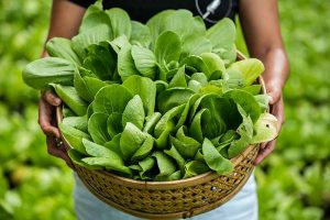 When and How to Harvest Bok Choy