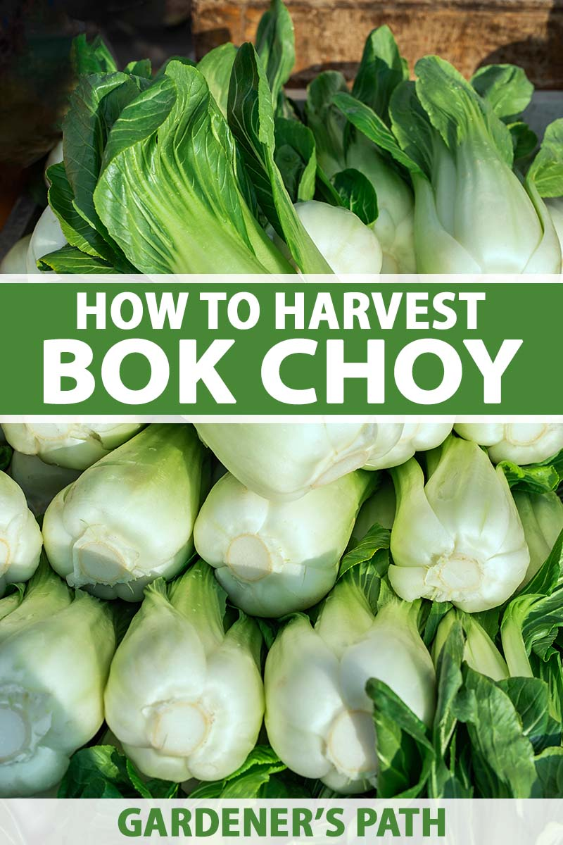 A close up vertical image of a pile of freshly harvested bok choy pictured in light sunlight. To the center and bottom of the frame is green and white printed text.