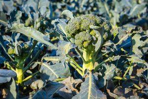 What's Killing My Broccoli? 13 Common Diseases