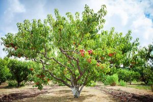 How to Identify and Control Peach Twig Borers
