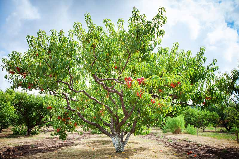 A close up horizontal image image of an orchard growing a variety of fruits on a cloudy sky background.