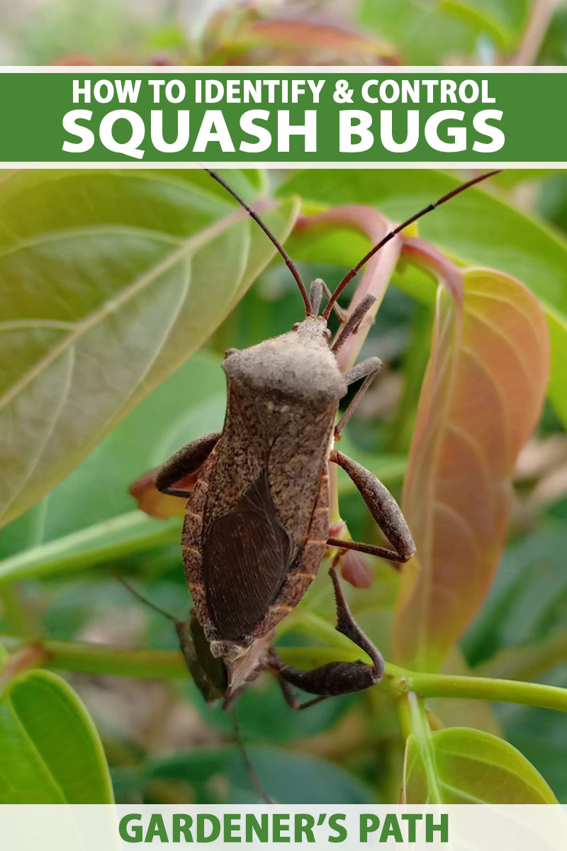 A close up vertical image of a squash bug (Anasa tristis) on the stem of a plant pictured on a soft focus background. To the top and bottom of the frame is green and white printed text.